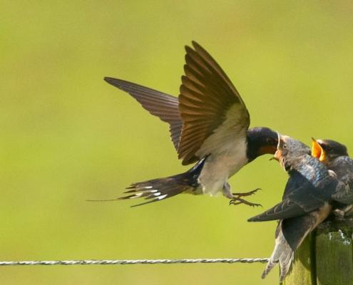 Zwaluw voert kuikens