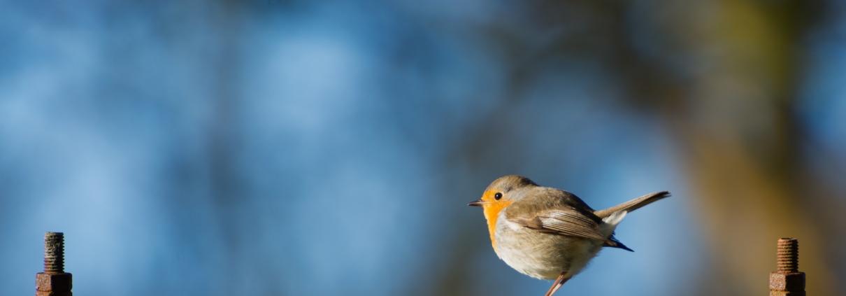 roodborstje op een hek