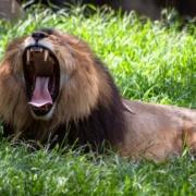 leeuw met muil open